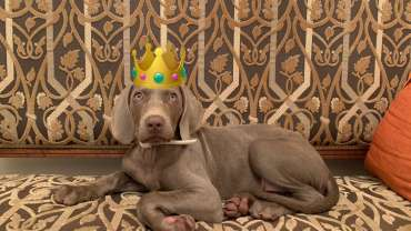 perro reina casa